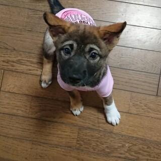 代理投稿 2ヶ月雑種中型犬の子犬メス「ななちゃん」