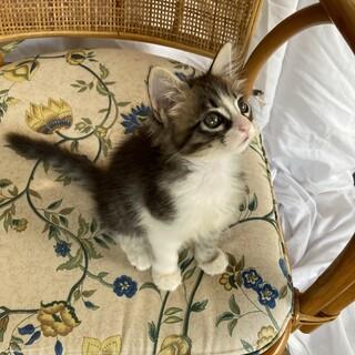 洋猫っぽい長毛キジ子猫、メグミちゃん