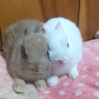 両親がネザーの子ウサギ(2羽)の里親募集です。