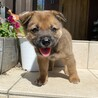 1ヶ月雑種の子犬オス「ゴン太」