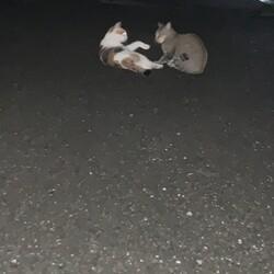 母猫のTNR