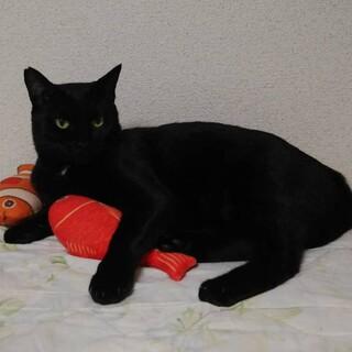 福を呼ぶ黒猫♪ クマくん