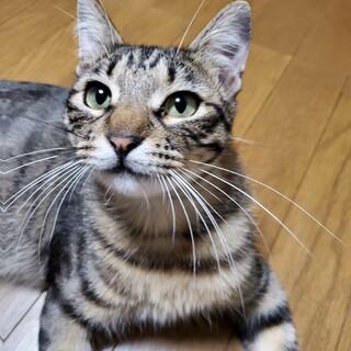 べったりストーカー元飼い猫☆ししまる♂?1才くらい