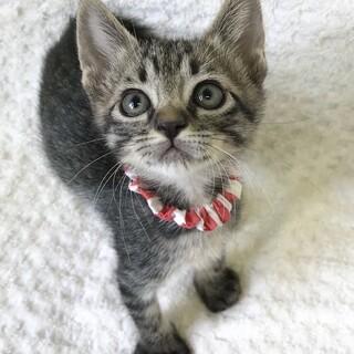 懐っこくて可愛い元気な赤ちゃんキジトラ♀です★