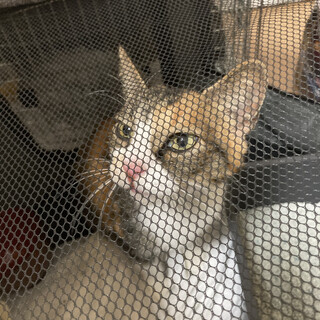 三毛の母猫(子猫も一緒にお願いします)