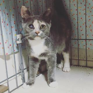 マンチカングレー 甘えたな優しい子猫 4か月