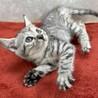 美猫で甘猫❗️飼わなきゃ損損❤️愉快なクスクス