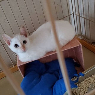 綺麗なブルーアイの甘えっ子の白猫りんちゃん♡
