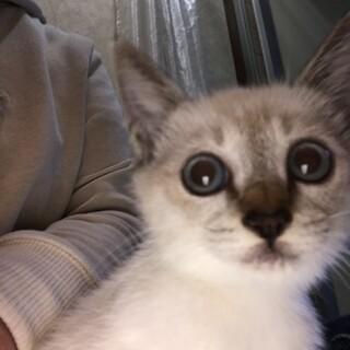 シャム風オス2-3か月子猫