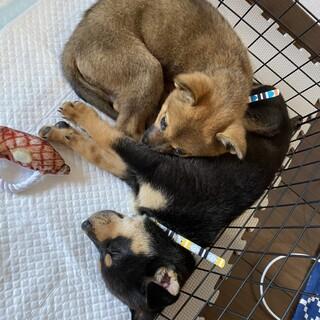 生後2〜3ヶ月の姉妹仔犬/柴犬顔/ダックスフンド顔