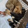 生後2〜3ヶ月の姉妹犬/捨てられている所を保護