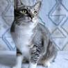 ムギ♡初猫飼いさんお勧め人懐こくてかわいい女の子