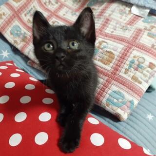 甘えん坊の黒猫☆生後2か月♂