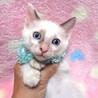 なれなれ♪シャム系青い目★ココくん 1ヵ月半
