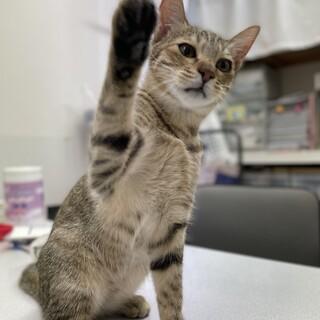 キジトラ子猫の抱っこすりすり好き