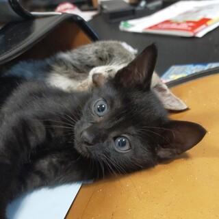 おっとりな黒猫のラプモンくん