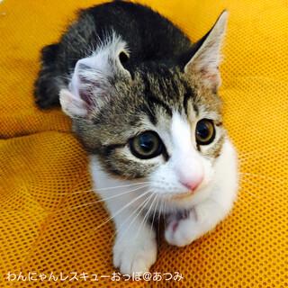 キジ白 子猫 現在猫を飼っている方希望