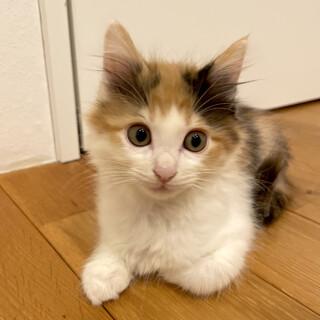 【姉弟2匹で譲渡】ふわふわ長毛三毛の子猫*超美少女