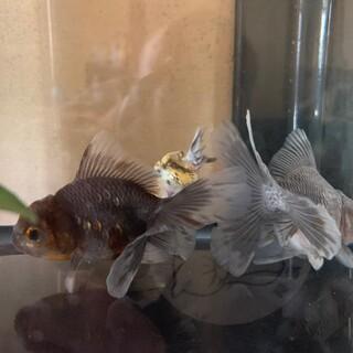 オランダローズテール幼魚。2匹。