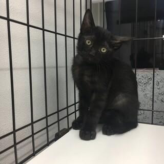 とってかわいい黒猫★きんとき君