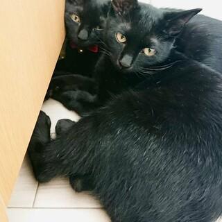 シャイで怖がりな黒猫の姉妹、キキとララ