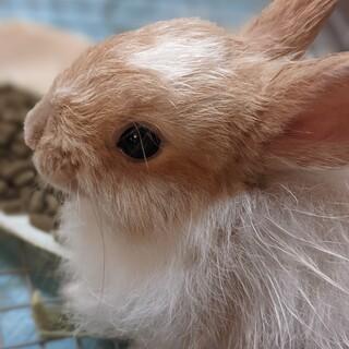 可愛いミニウサギの里親募集
