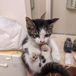 [大至急里親募集]生後4週間の捨て猫です