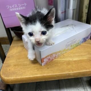 白黒 可愛いニャー太郎 生後約2ヶ月