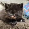元気な3匹 子猫 生後1ヶ月 毛長ちゃん