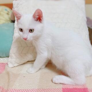 真っ白・甘えっ子男子 先住猫ちゃんOK