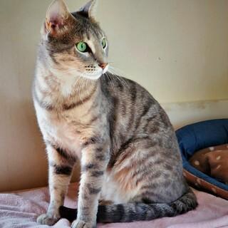 血統付きの両親からベンガル猫