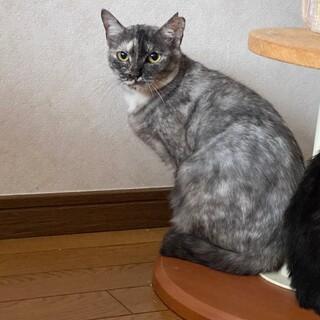 綺麗な毛色の美猫さん♡ルナちゃん