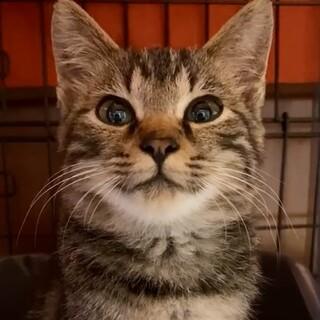 きじトラ子猫ちゃん 里親募集しています!