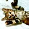 仔猫メス 1.5ヶ月 人馴れしてます