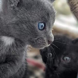 可愛い仔猫グレー2か月