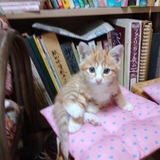 グレーブルーの瞳が印象的・子猫の里親募集です