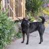 天然記念物指定甲斐犬優良系統の牝