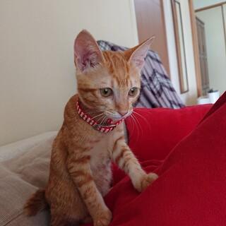 全茶トラ、茶トラ女子。1:5カ月の可愛い子猫