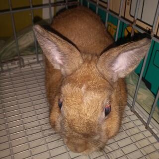 ウサギの里親になられる方、大至急募集します。