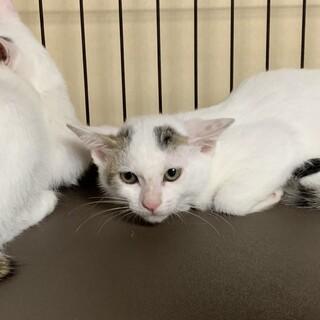 マロちゃん、遊ぶの大好き!白三毛子猫