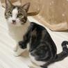 アメショ風♪家猫修行中のイケメン『すあま』3歳 サムネイル2