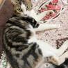 アメショ風♪家猫修行中のイケメン『すあま』3歳 サムネイル3