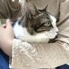 アメショ風♪家猫修行中のイケメン『すあま』3歳 サムネイル5
