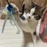 アメショ風♪家猫修行中のイケメン『すあま』3歳 サムネイル7