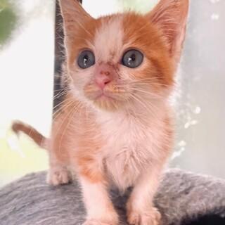 cat-M1083 可愛いチビチビ茶白君♪