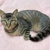 甘えたくてしょうがない♪膝乗り猫『トトリ』1歳 サムネイル2