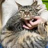 甘えたくてしょうがない♪膝乗り猫『トトリ』1歳 サムネイル3