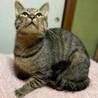 甘えたくてしょうがない♪膝乗り猫『トトリ』1歳 サムネイル7