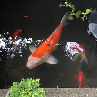 鯉の里親を探しています
