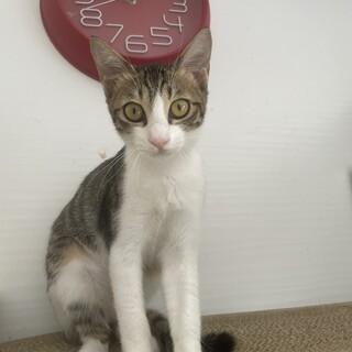 【小平市】3ヶ月の美猫の聖子ちゃん